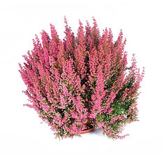 erica gracilis.jpg