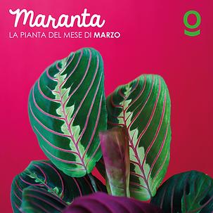 PIANTA DEL MESE maranta-08.png