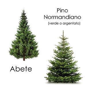 Abete pino-05-04.jpg
