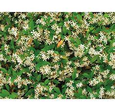 Rhyncospermum jasminoides.jpg