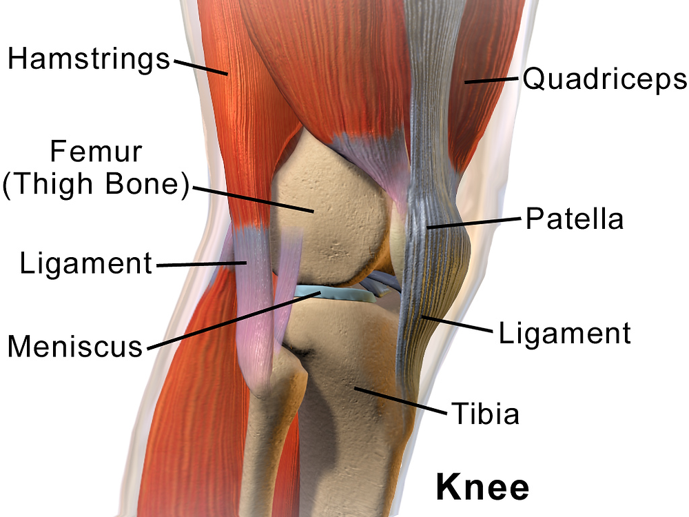 Knee joint with surrounding muscles, ligaments, tendons and meniscus.