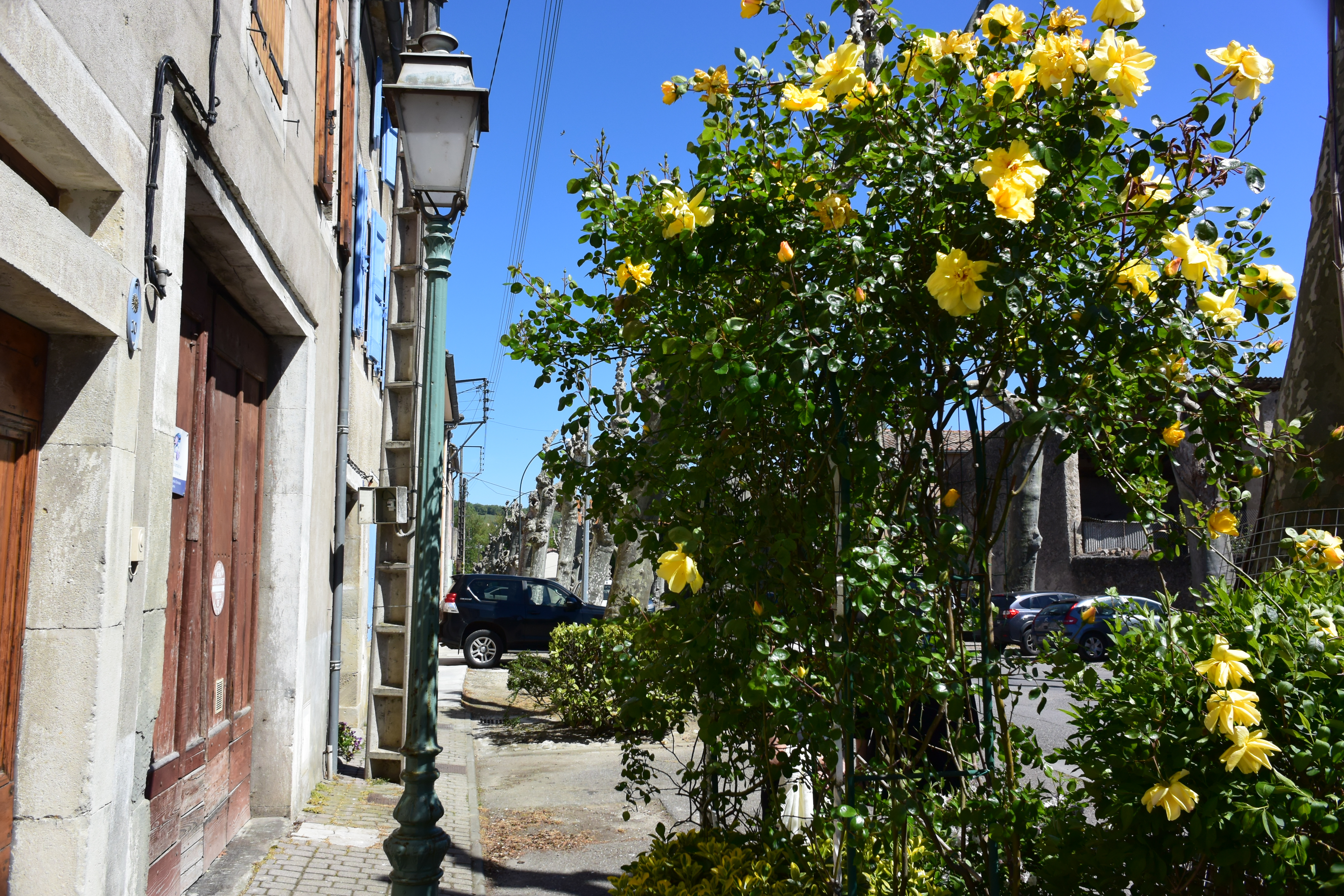 Yello flowers blooming in Mirepoix