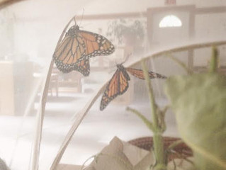 """Preschool-""""The Lifecycle of a Monarch"""""""