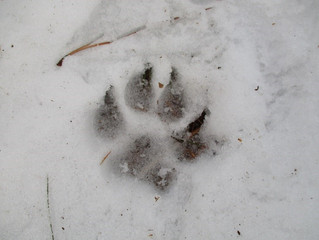 Paw Prints in the Woods