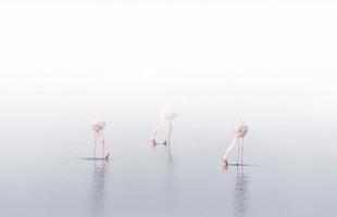 Flamingos Dancing in the Fog