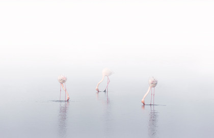 Flamingos Dancing in the Fog