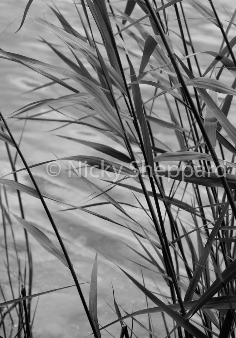 Reeds at Slapton