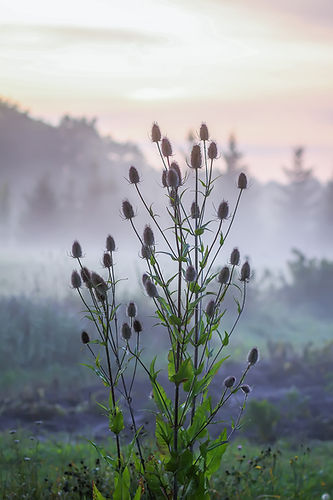 Wild teasel or dipsacus fullonum plant i