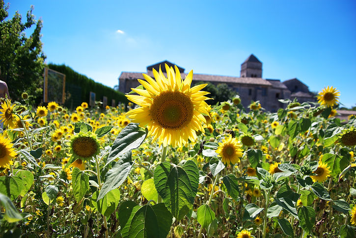 Sunflower field in Monastery, St. Remy,