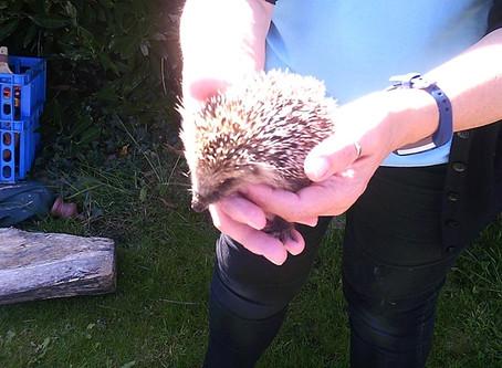 Hedgehog Visits