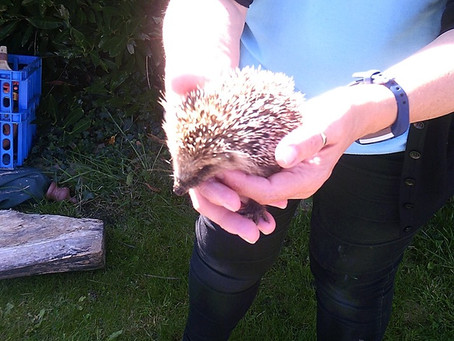 Hedgehog Visits