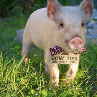 Cute Little Piggy at Hartman's Herb Farm