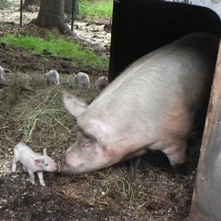 Mama Pig and Baby Piglet