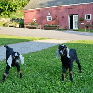 Baby Goats at Hartman's Herb Farm