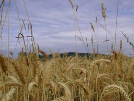 Matthew 13:24-43 – Weeds, weeds, everywhere weeds