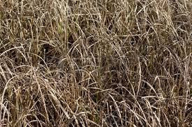 withered grass