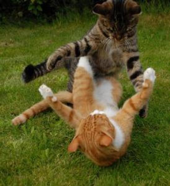 Cat-Fight13