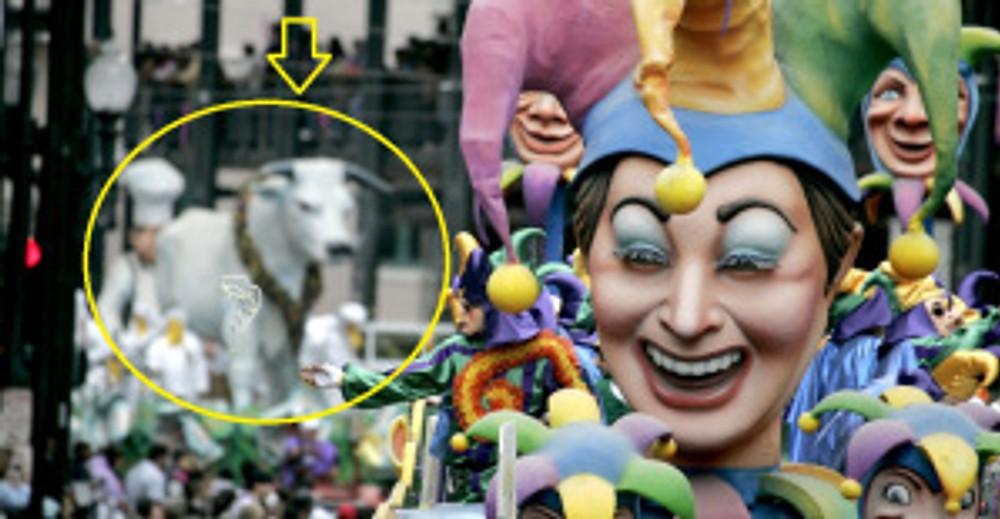 Is that a Mardi Gras Calf I see?