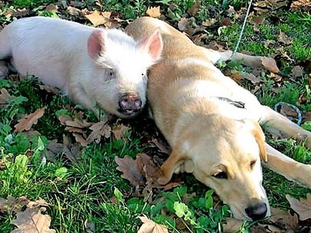 Dogs and Swine