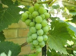This is actually what a church looks like: a gathering of Jesus Grapes.