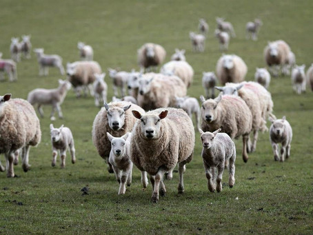 Lost Sheep Running To Be Found