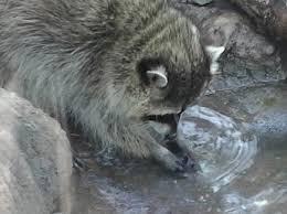 Some animals do wash first.