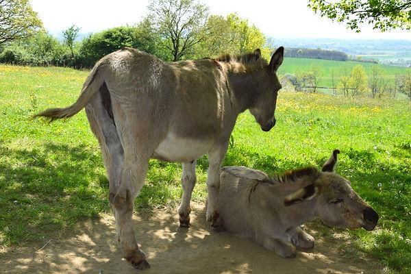 Animaux 18 avril 2019 J Merlet - 18.jpg Les deux ânes Croix deSaint André  sur le site des moulins à vents.