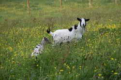 animaux moulin26 04 19 J Merlet - 05