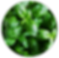 Sweet Basil Leaf Oil.png