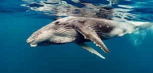 header-humpbacks-and-grays.jpg