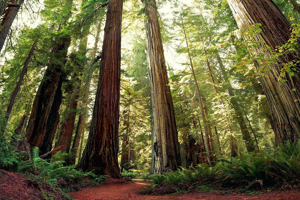 Redwoods-GettyImages-108351348-2.jpg