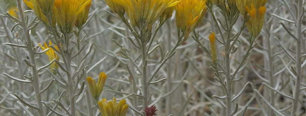 Rabbitbrush (Ericameria nauseosa)