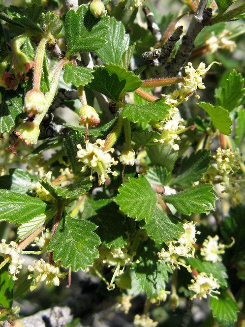 True Mtn Mahogany (Cercocarpus montanus)