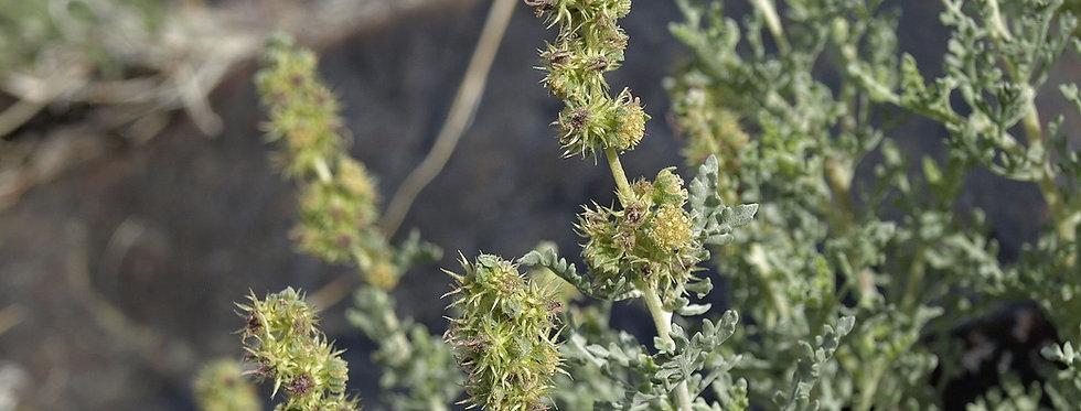 White Bursage (Ambrosia dumosa)
