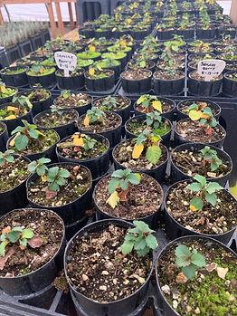 Serviceberry - Amelanchier alnifolia.jpg