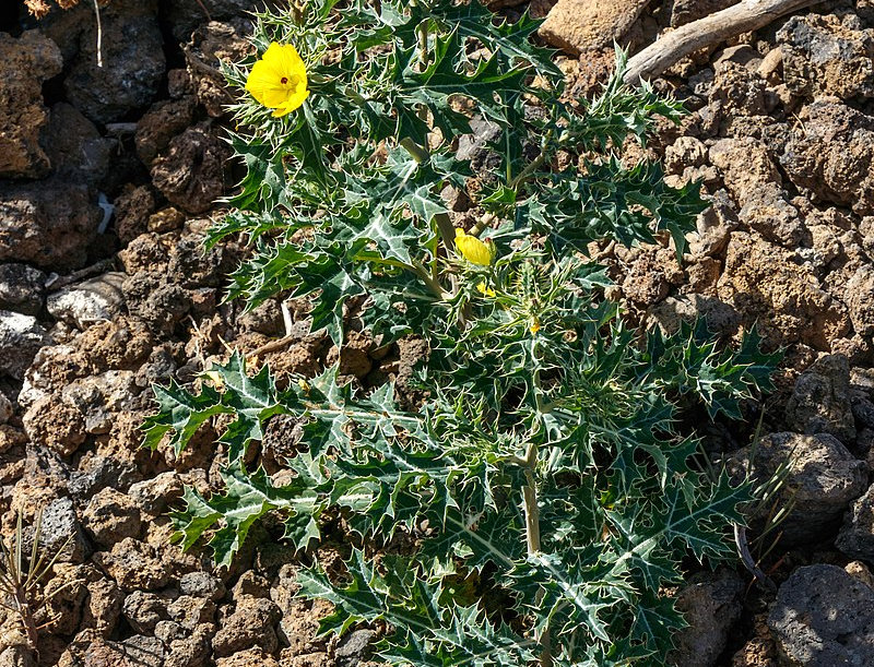 Prickly Poppy (Argemone mexicana)