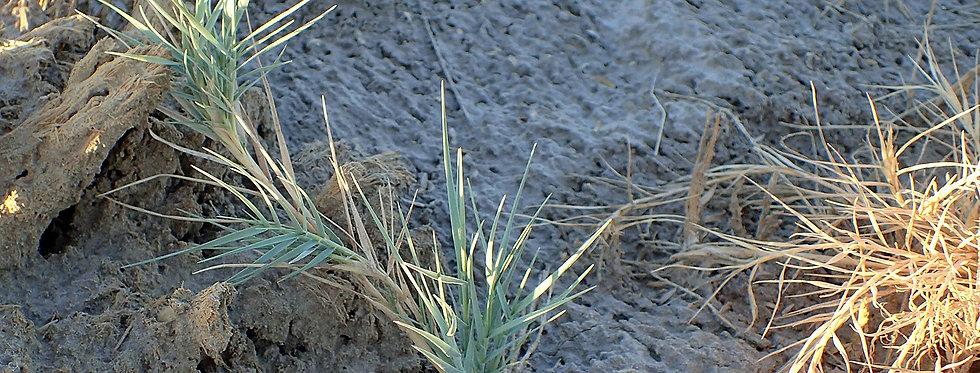 Inland Saltgrass (Distichlis spicata)