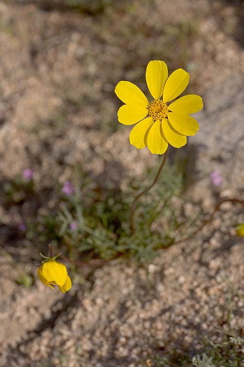 Bigelows Coreopsis (Coreopsis bigelovii)