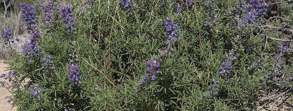 Great Basin Lupine (Lupinus alpestris)