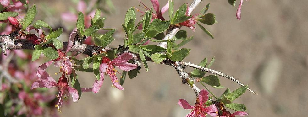 Desert Peach (Prunus adersonii)