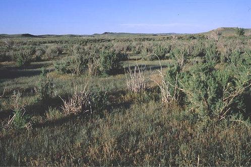 Black Greasewood (Sarcobatus vermiculatus)
