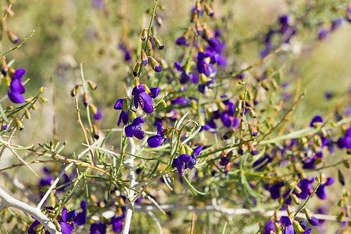 Mojave Indigobush (Psorothamnus arborescens)