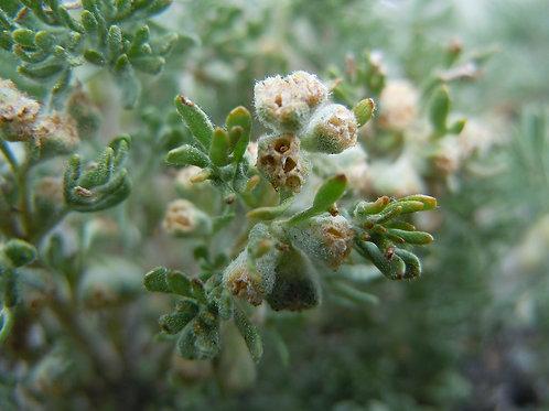 Bud Sage (Picrothamnus desertorum)