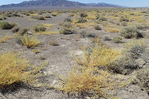 Mojave Stinkweed (Cleomella obtusifolia)