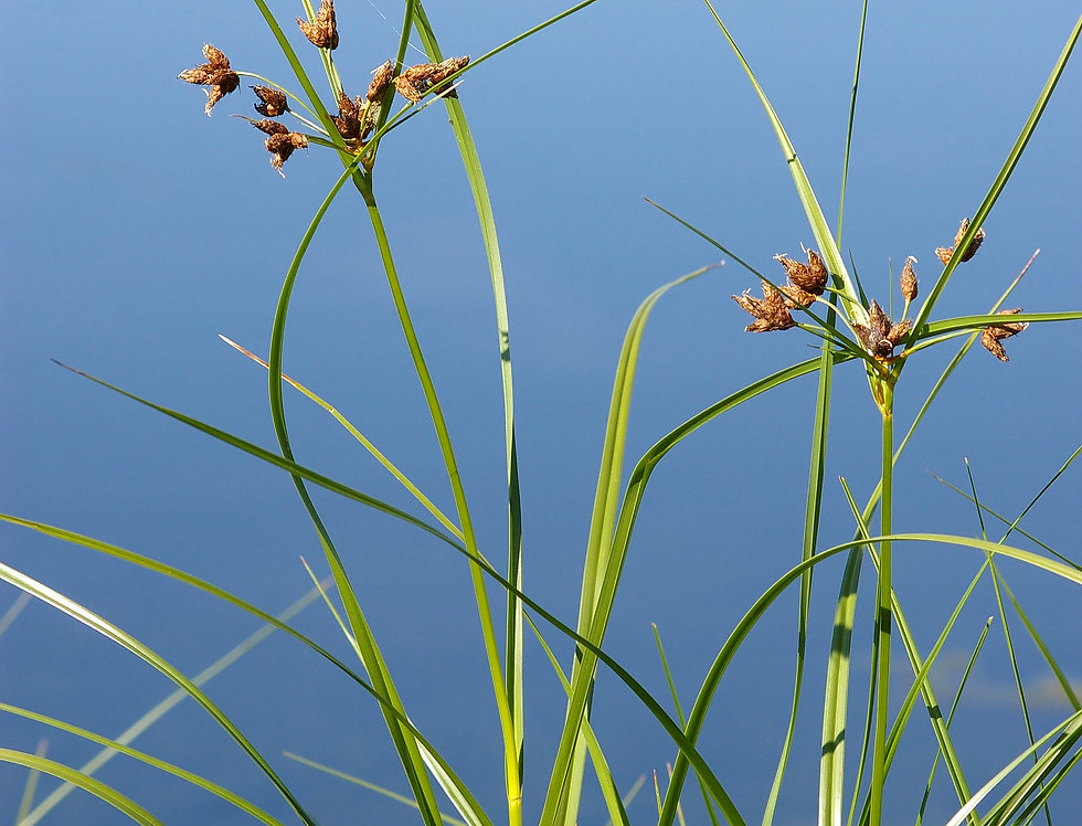 Alkali Bulrush (Bolboschoenus maritimus)