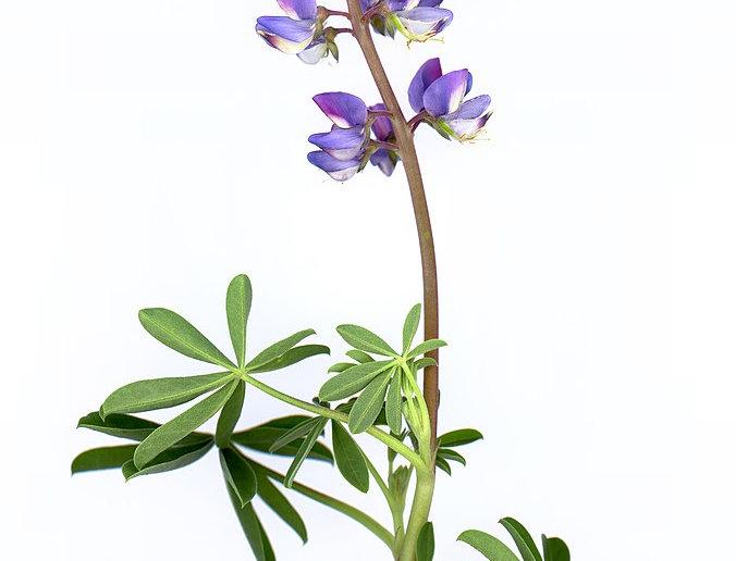 Arroyo Lupine (Lupinus succulentus)