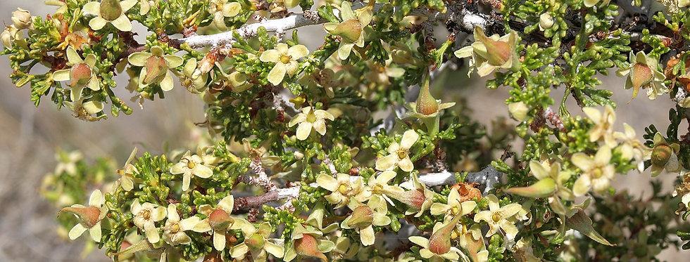 Desert Bitterbrush (Purshia glandulosa)