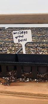 Great Basin Wildrye - Leymus cinerius.PN