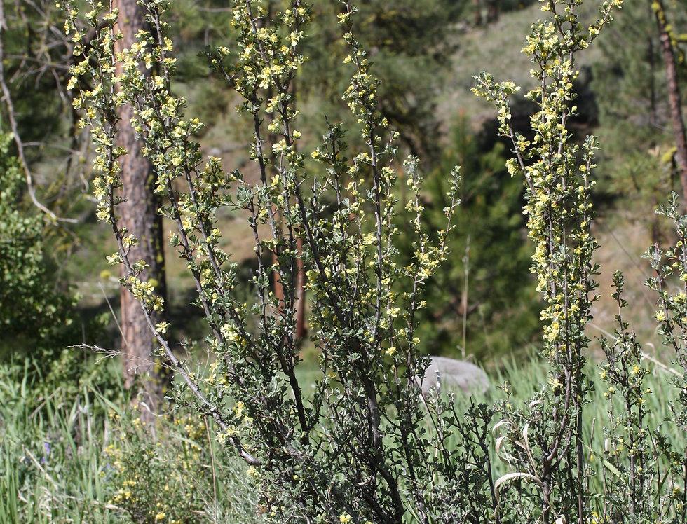 Antelope Bitterbrush (Purshia tridentata)