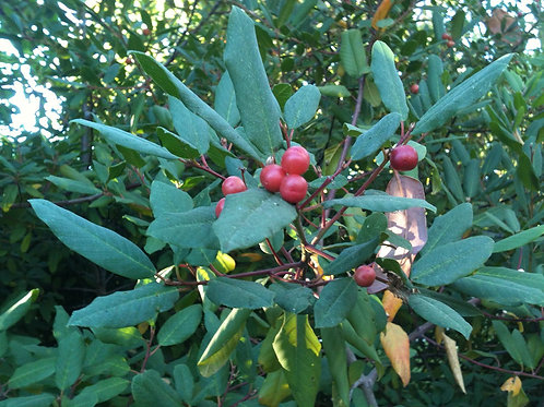 Coffee Fruit (Rhamnus californica)